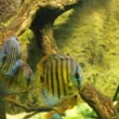 Stock Video: Symphysodon discus in an aquarium on a green background