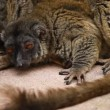 Cute Red-bellied Lemur on blured background — Stock Video