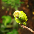 Green parrot in blured background — Vídeo de stock