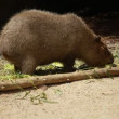 Capybargrazing on fresh green grass — Stock Video #12809061