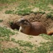 Black-tailed prairie dogs - sticking out from a burrow. — Stock Video