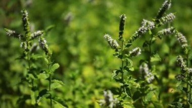 Peppermint - Mentha piperita — Stockvideo