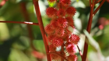 Red Leaf of Castor Oil Plant, Selective Focus — Stock Video