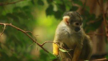 Small Monkey portrait — Stock Video