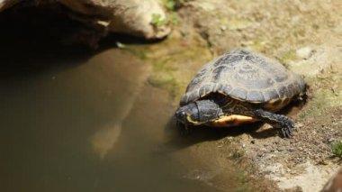 African water tortoise — Stock Video