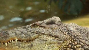 Big Crocodile on yellow sand background — Stock Video