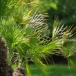 Stock Video: Green palm leaves swinging in wind.