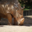 Profile view of a white rhinoceros — Stock Video