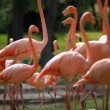Group of American Flamingo, green nature background. - Stock Photo