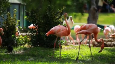 Group of American Flamingo, green nature background. — Stock Video