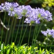 Blue flower of agapanthus africanus — Video Stock #12823309