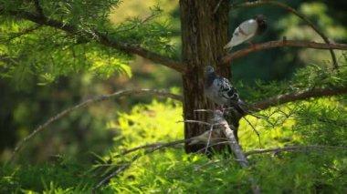 An pigeon sitting on pine tree — Stock Video