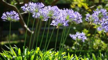 Blue flower of agapanthus africanus — Stock Video