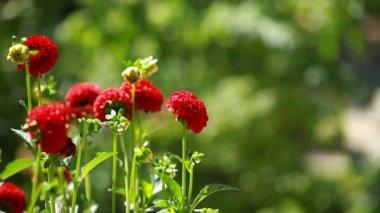 Flor dália vermelho na luz da manhã no jardim verde — Vídeo Stock