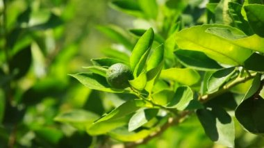 Lemon on a branch in a house garden and green background — Wideo stockowe