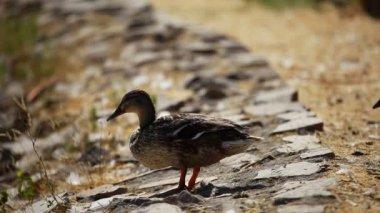 Mallard duck and baby ducklings — Stock Video