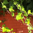 Many leafs of ivy cover a wall over blurred background - Stock Photo