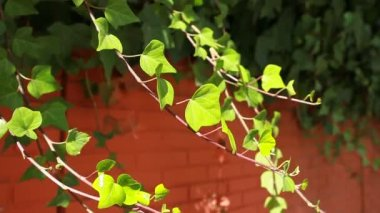 Many leafs of ivy cover a wall over blurred background — Stock Video