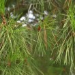 Green prickly branches of fur-tree or pine — Stock Video #13357071