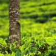 Landscape of green tea plantations. Munnar, Kerala, India - Stock Photo