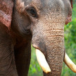 Young asian elephant — Stock Photo