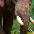 Asian Elephant head close up — Stock Photo #14289061