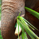 Asian Elephant head close up — Stock Photo #14289105