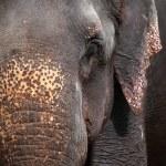 Asian Elephant head close up — Stock Photo #14289143