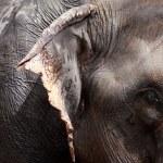 Asian Elephant head close up — Stock Photo #14289149