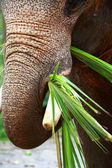 Asian Elephant head close up — Stock Photo