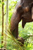 Asian elephant in India. — Stock Photo