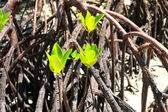 Mangrove tree in Havelock Island in Andamans, India. — Stock Photo