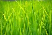 Green Terraced Rice Field in Havelock Island, India. — Stock Photo