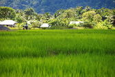 Green Terraced Rice Field in Havelock Island, India. — Stock Photo