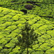 Landscape of green tea plantations. Munnar, Kerala, India — Стоковая фотография