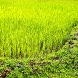 Rice Paddy's growing up in the organic farms of India — Foto Stock