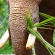 Elephants playing, eating sugar cane with their herd — Stock Photo
