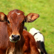 Cute calf cow on a rural meadows. - Stock Photo