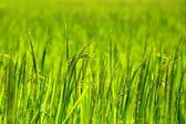 Rice Paddy's growing up in the organic farms of India — Stock Photo