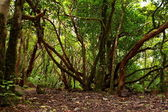 Lush forest in Macizo de Anaga, Tenerife, Spain. — Foto Stock