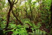 Yemyeşil orman macizo de anaga, tenerife, i̇spanya. — Stok fotoğraf