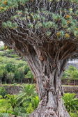 Millennial Drago tree at Icod de los Vinos, Tenerife Island , Spain — Foto Stock