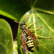 Closeup of Large wasp natural background - Foto Stock