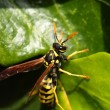 Closeup of Large wasp natural background - Stock Photo