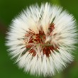 Close-up of dandelion seed head — Stock Photo #15698509