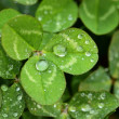 A macro shot of beautiful clover on green background — Stock Photo #15735007