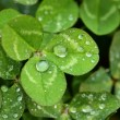 Stock Photo: A macro shot of beautiful clover on green background