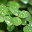 A macro shot of beautiful clover on green background — Stock Photo