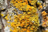 Closeup of a yellow mushroom on tree bark — Stock Photo
