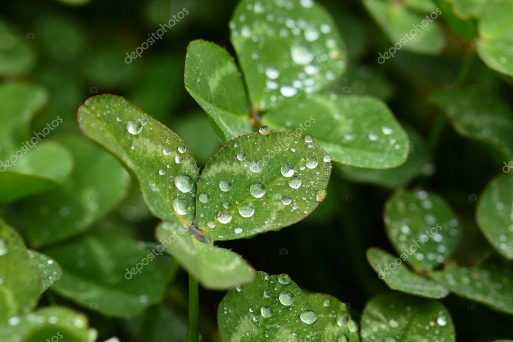 A macro shot of beautiful clover on green background  Stock Photo #15735055